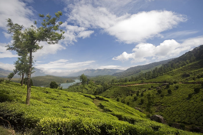 Tea and Terror in Munnar